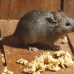 Comment se débarrasser des rats dans le grenier
