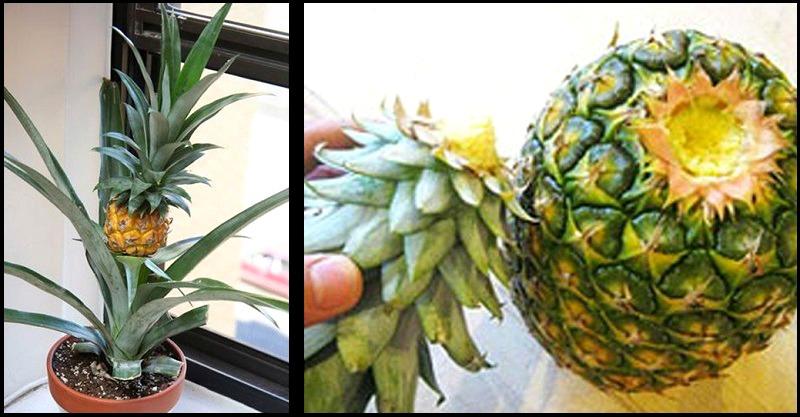 Comment faire pousser un ananas?