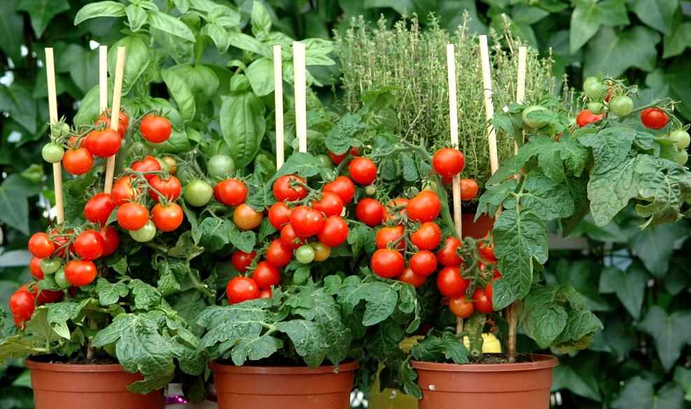 légumes et des herbes qui poussent à l'intérieur